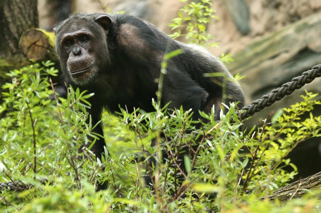 Wuppertal – Grüner Zoo – Schimpansenhaltung